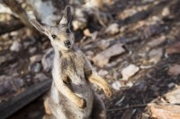 wildlife-wallaby